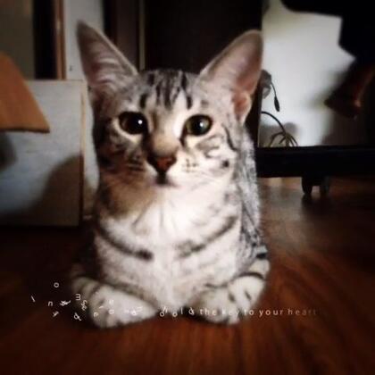 这一只是埃及猫,是不是很有艳后的气质~端庄,典雅。毛色非常漂亮~