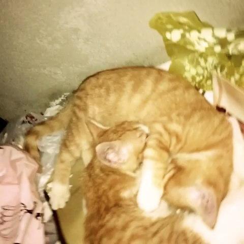 公司两只阔爱的小咪,抱在一起睡觉觉咯