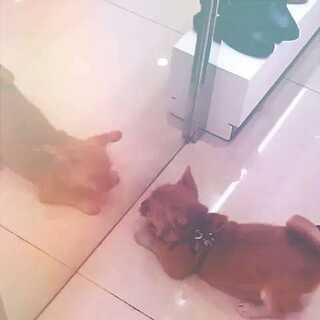 小狗照镜子#随手拍##宠物#