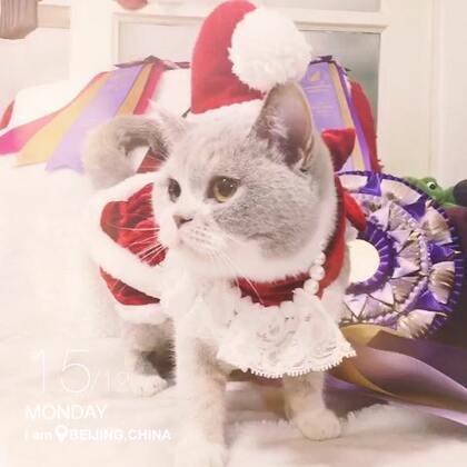 #宠物##圣诞美妆大赛#最近太忙没空拍,只好打扮一下女王大人了😁祝#圣诞快乐#🎄🎄🎄🎄