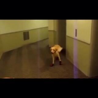 狗狗穿鞋,被笑尿了~最后楼道里跑起来,就笑喷了,看来狗狗不能穿鞋子#宠物##搞笑#