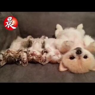 【被萌哭了】网友家的汪星人和小猫们一起睡觉,自己先醒了,怕吵醒小猫们,居然一直不动保持睡觉的姿势…乍一看还以为是玩具狗,太有爱了😊