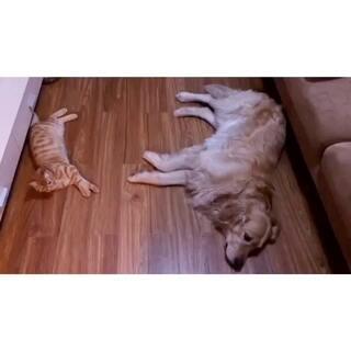 本本儿睡觉呢,木木玩着玩着突然跑过去,啪嗒一下躺地下了,姿势还一模一样😂。一回头看到它们俩这样子也是萌哭我了😘