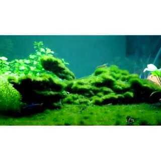 #猜猜我几岁# 水草缸长出了绿绿的海藻🌵岁月改变了我的模样...#你喜欢我吗#😝