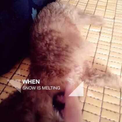 #宠物泰迪##宠物#为了咬到我也是操碎了心😂😂😂