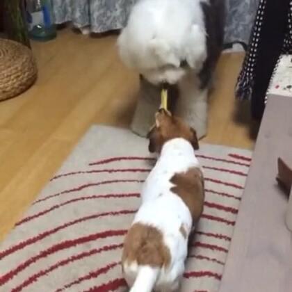 #宠物##周二##60秒美拍#旧视频2014.10.04 俩姐妹 逗闷子 抢𧙕子 😂😂