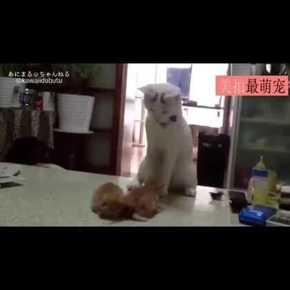 #宠物##卖萌#刚刚为人父母的喵,看到小奶猫压在一起,急的抓耳挠腮!哎呀......早知道不生这么多了!这可咋整啊!😂😂