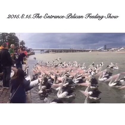 #旅行##自驾游##澳洲#The Entrance-Pelican Feeding Show 鹈鹕共舞