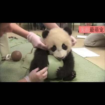 #宠物##卖萌#这只熊猫宝宝超喜爱TA的球,体检中一直念念不忘,仿佛在说1这是我的球,你们不能拿走哦!😍😍💘