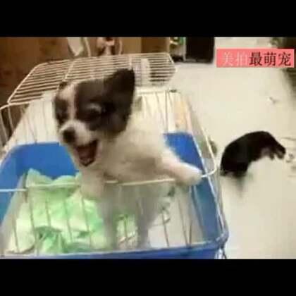 #宠物##逗比#广播:名叫阿伟的顾客,您的狗在找你!😂😂😂