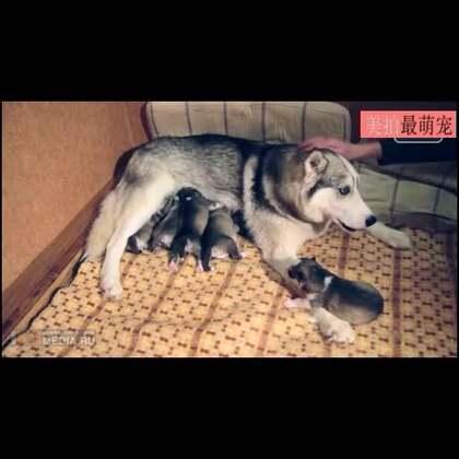 #宠物#哈士奇宝宝成长视频,萌萌哒😍😍😍