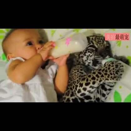 #宠物#视频中这个巴西的小女孩叫Ayumi, 因为妈妈从事兽医相关的工作,一直照顾着一头叫Juma的小豹子,Ayumi小时候就跟Juma同床嬉戏,还一起喝奶,画面超暖萌!😍😍💘