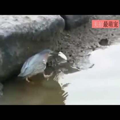 #宠物#这只鸟竟然懂得钓鱼,还如此沉着,真是成精了!😂😂😨