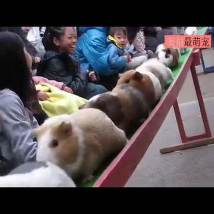 #宠物#豚鼠小火车开过来啦!请注意避让……💘💘