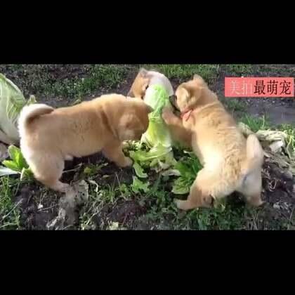 #宠物#三只肉团阿柴在自家菜园子里撒野,冲着无辜的大白菜就是一通狂啃,大白菜恐留下终身残疾……二柴,你们简直太好养活啦!😂😂