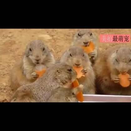 #宠物#看一群土拨鼠吃胡萝卜,看了40多秒,盆里不吃抢人家嘴里的同学,你怎么回事!😍