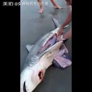 外国游客剖腹搁浅的大白鲨发现肚里的有三条小生命,都放回大海了😘😘#正能量##鲨鱼搁浅##国外最新热门视频##我要上热门#@美拍小助手