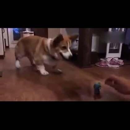 #宠物#主银和柯基小短腿玩游戏,柯基小短腿一直在踏步准备攻击。。。兴奋的样子好可爱喔😍😂