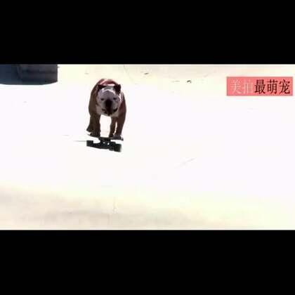 #宠物#来自美国加州的英国斗牛犬Tillman,虽然像别的英斗一样矮胖矮胖的,但是它有一项技能却是汪星人里最厉害的,那就是玩滑板,还曾经打破了吉尼斯世界纪录,成为世界上溜滑板最快的狗狗!汪星胖纸的奇迹!😍