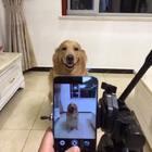 也是个自恋的狗才#宠物##金毛#