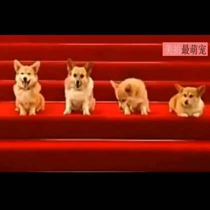 #宠物#四只柯基合唱生日歌,最右那只你认真点儿,关乎今晚狗粮呢好吗! 😂