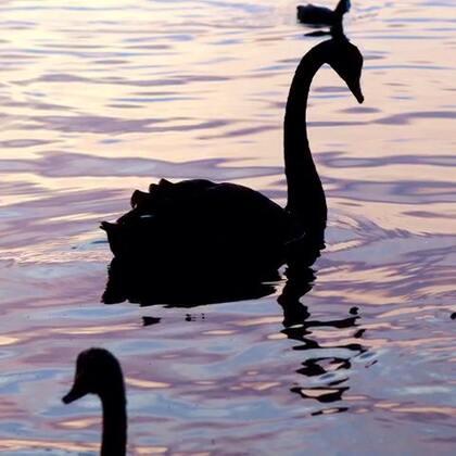 #旅行#丑小鸭与黑天鹅