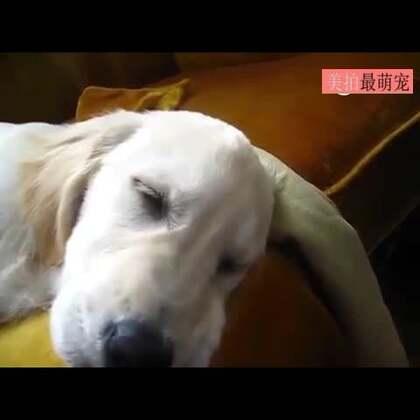 #宠物#主人想用口琴唤醒熟睡的小金毛,遭到撒娇拒绝,别闹了,人家困着呢。。😂😂