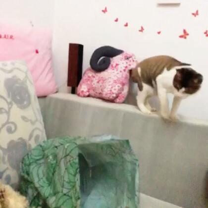 #猫星人##周三##我家宝贝萌萌哒##我家的喵星人#晚上它的唯一爱好看来就是自己上串下跳了,钻钻袋子😄