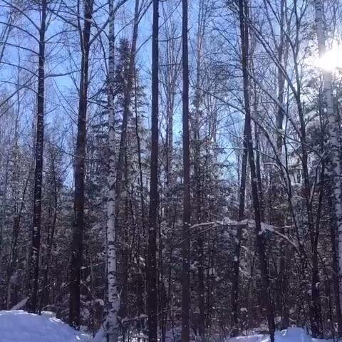 【爱蔻美拍】#长白山##白桦树##阳光##雪景