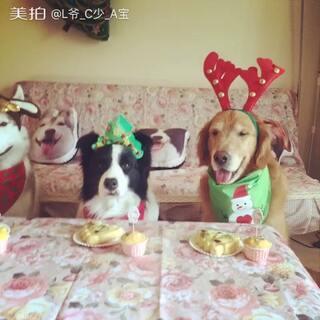 #宠物##平安夜快乐#😊平安夜大家要平平安安哟~😋西森是个小绅士要等我给切成块才肯吃,😂拉踢吃得太快啦!哥仨微博👉http://weibo.com/u/1082796482