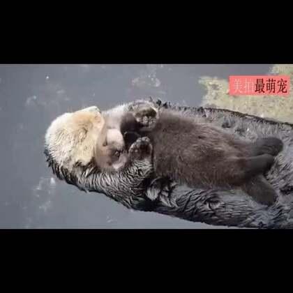 #宠物#小水獭躺在妈妈的怀里睡觉,萌的心都化了...😍😍