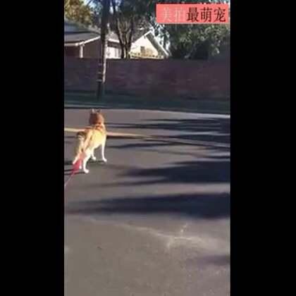 #宠物#一网友带家里汪出门散步的时候,遇到了这样蠢萌的一幕!😂😂