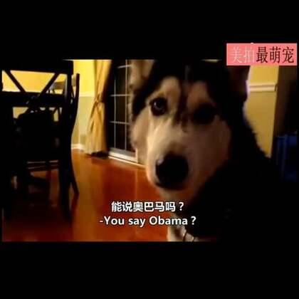 #宠物#二哈Mishka是个出了名的话唠,太爱说话了,主银把它学说话的几个视频做成了合辑。词汇量真大,不服不行。😂