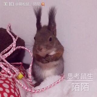 思考鼠生必备动作一一抱胸。😏#宠物##魔王松鼠:陌陌#