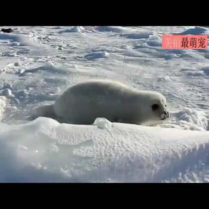 #宠物#海豹妈妈去觅食,小海豹就用这样的方式呼唤妈妈回来。😍😍😍