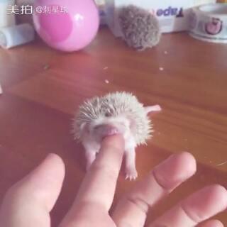 #非洲迷你刺猬##宠物##萌宠#小家伙吃手指不亦乐乎,我这没有奶哦😂后面的小家伙也逗乐我了