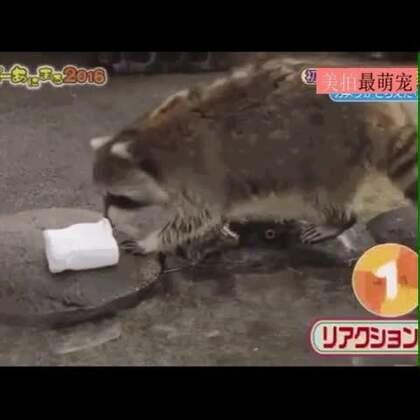 #宠物#浣熊把棉花糖放进水里两次後,它第三次拿到棉花糖的时候,它终於学会了直接吃掉棉花糖。。😂😂