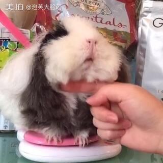#荷兰猪##宠物##豚鼠#来来来~一起调戏小泡芙🙈