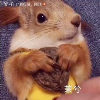 🐿️#宠物##雪地松鼠:茉兮#🐿️