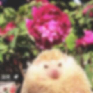🌺花开富贵🌺 一早带富贵宝宝去花市拍照📷,果断又给围观了,它今天心情好,木有扎刺!超乖咧#非洲迷你刺猬##宠物##吉迷你宠物窝#