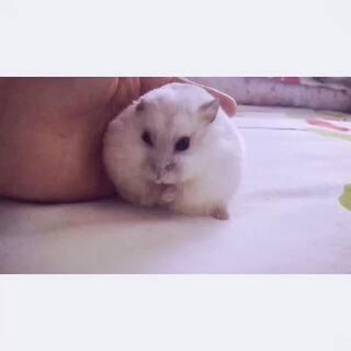 #仓鼠##宠物# 让白富美为大家示范一下,仓鼠是怎么洗脸的😂先抹抹嘴巴涂点口水,然后抬起小手洗脸脸😘(白富美毛好长哦🌝)#宠物慢动作大赛#