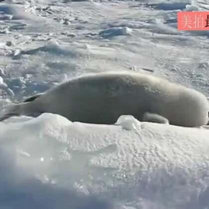 #宠物#海豹妈妈去觅食,小海豹就用这样的方式呼唤妈妈回来,萌化!😍