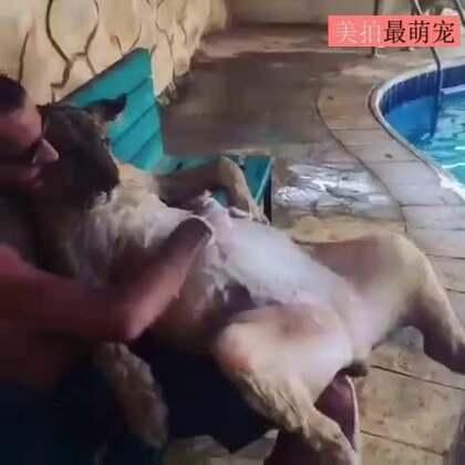 #宠物#洗狮子,这是在洗一只狮子,抱着四仰八叉的狮子刷它的肚子,这位戴墨镜的洗狮哥,好像很屌的样子。😂