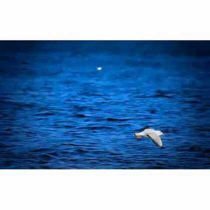 红嘴鸥❤🍞每年11月从西伯利亚飞来泸沽湖过冬☺ 来年3月飞回👏👏👏