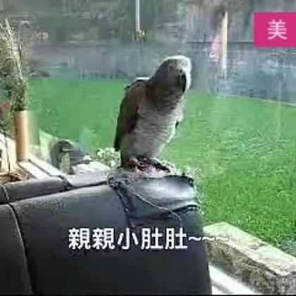 #宠物#一只知道主人太多秘密的鹦鹉,满脑子魔性的小肚肚。😂