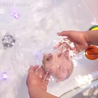 #非洲迷你刺猬##刺猬##宠物#冷面小刺猬是一只快两岁的小家伙,主人是台湾人,经常带来我们这边寄养,算是老熟人了。接走前又来泡个澡☺,刺猬洗澡要专人看守下进行哦