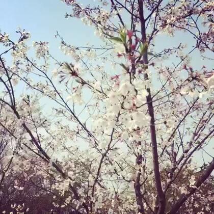 洁白纯净的樱花🎐🎐