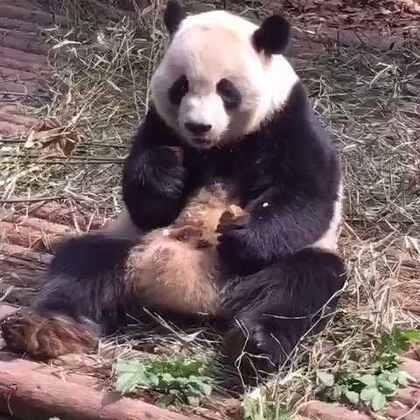 #panda##熊猫#喜兰宝宝吃窝头打嗝,肚子上的肉一颠一颠的😘