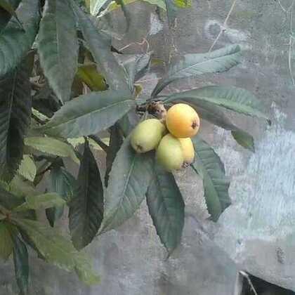 院旁亲自种的枇杷树和桃树今年都结果啦😄😄😄一定好好吃哟😜