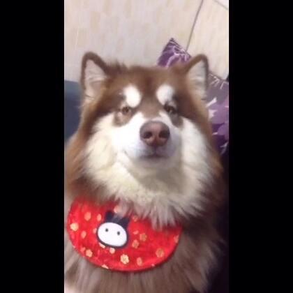 封面 哈哈哈哈哈哈#宠物##球球崽崽#